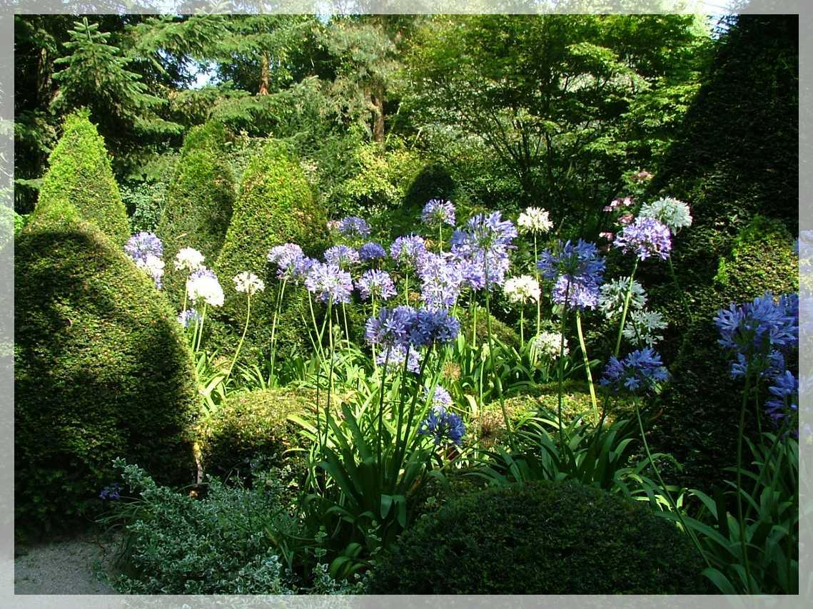 26 jardin agapanthe