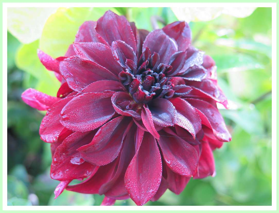 Photo de Chantal : Superbe dahlia saupoudré de rosée.